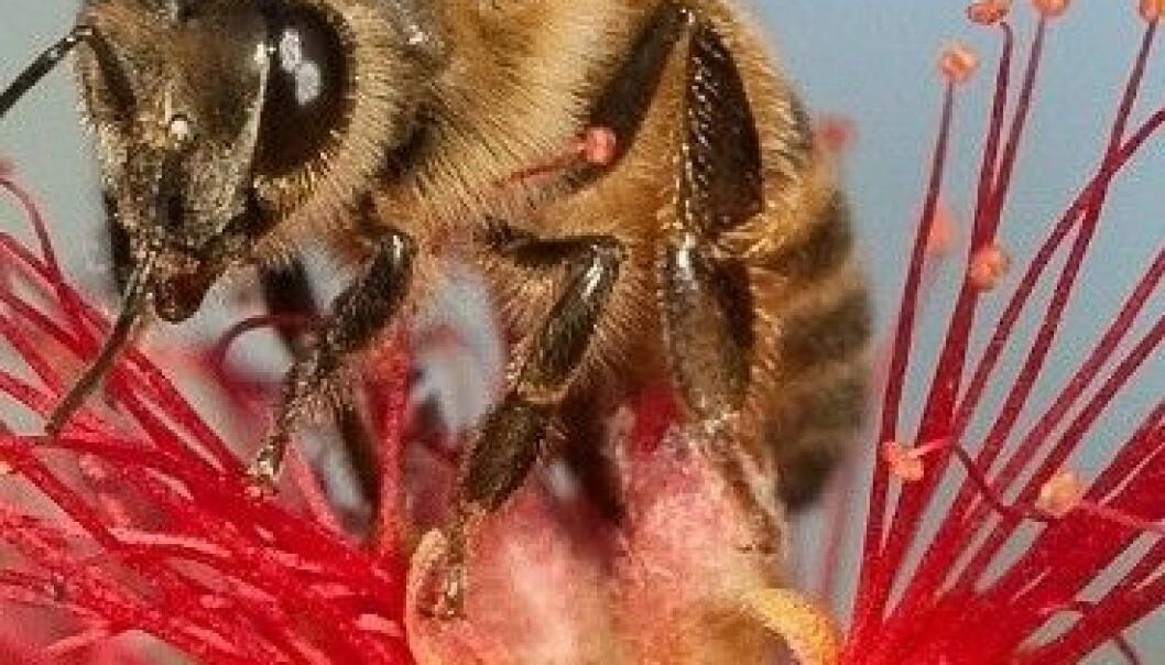 Forskere verden over prøver hardt å finne årsaken til at honningbier dør i store mengder. Christofer Bang