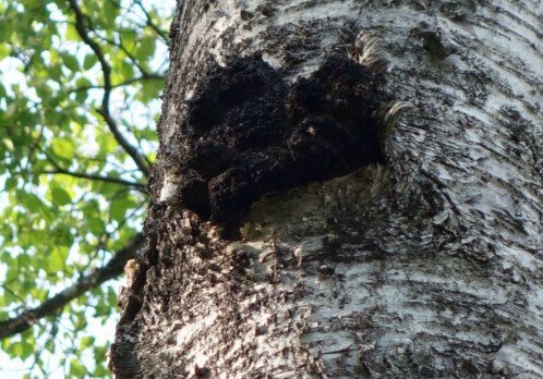 Chaga: myth-enshrouded fungus may become possible future cancer treatment