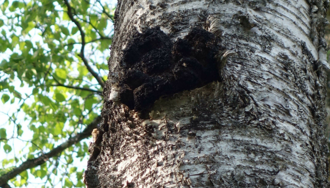 Chaga, here pictured on a birch tree, has been used as folk medicine around the world.