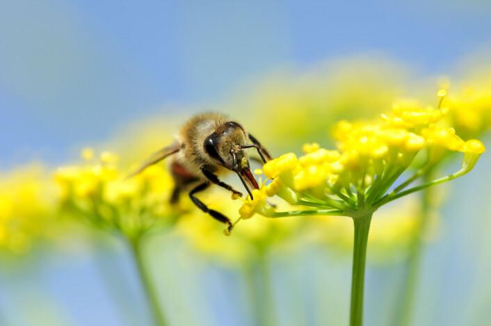 Planter praktiserer sikker sex. Hunnplanten har en del av kjønnsorganet sitt, arret, ute i friluft så de kan motta hundrevis av friere - pollenkorn. Her kommer pollenet med en bie. Foto: (Foto: Elemental Imaging)