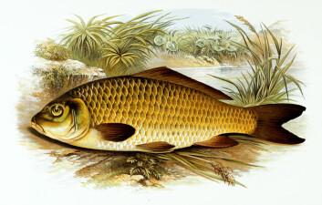 Karpen, den velkjente fisken med barter, har en egen tyggemekanisme som hjelper den spise både plantefôr og dyr. Mekanismen ble beskrevet av en nysgjerrig sjel tidlig på 1900-tallet. (Foto: (Bilde: Wikimedia Commons))