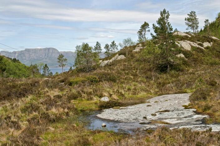 Kystlyngheier som gror til med bjørk og furu er med på å øke skogarealet i Sogn og Fjordane. Fra Rutledal i Gulen kommune. (Foto: John Yngvar Larsson / Skog og landskap)