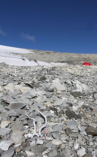 Eksempel på reinsdyrgevir som har smeltet ut av isen. Geviret her er datert til å være rundt 800 år gammelt.