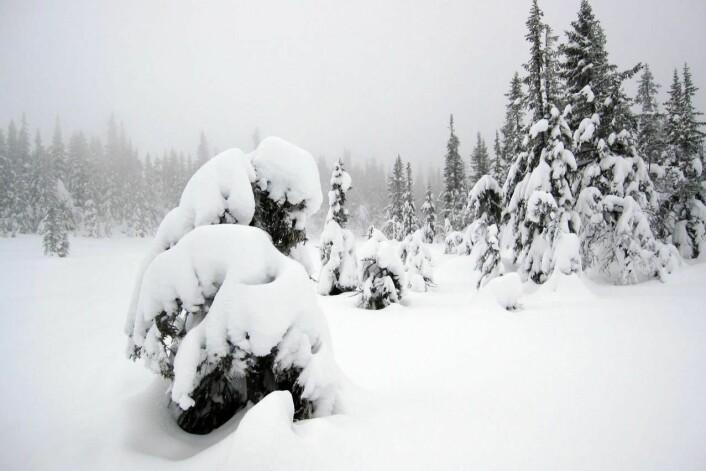 Vintermyggens landskap. (Foto: Sigmund Hågvar)