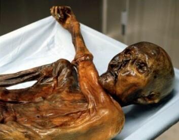5000 år gamle Ötzi ble funnet nedfrosset i alpene på grensa mellom Østerrike og Italia. Mageinnhold fra Ötzi har bidratt til å kvalitetssikre data fra forsteinet avføring i den nye studien i PLOS ONE. (Foto: Wikimedia commons)