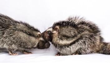 Forskerne trodde rottene er asosiale. Det var feil. De trives veldig godt to og to og tar på hverandre hele tiden.