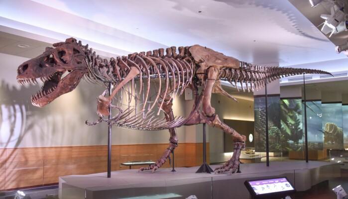 Tyrannosaurus rexen Sue ved The Field Museum i USA.