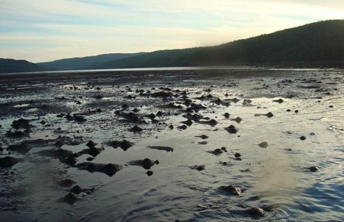 Gravende bunndyr i sedimentet i slambanken i Bøkfjorden ved Kirkenes. (Foto: NIVA)