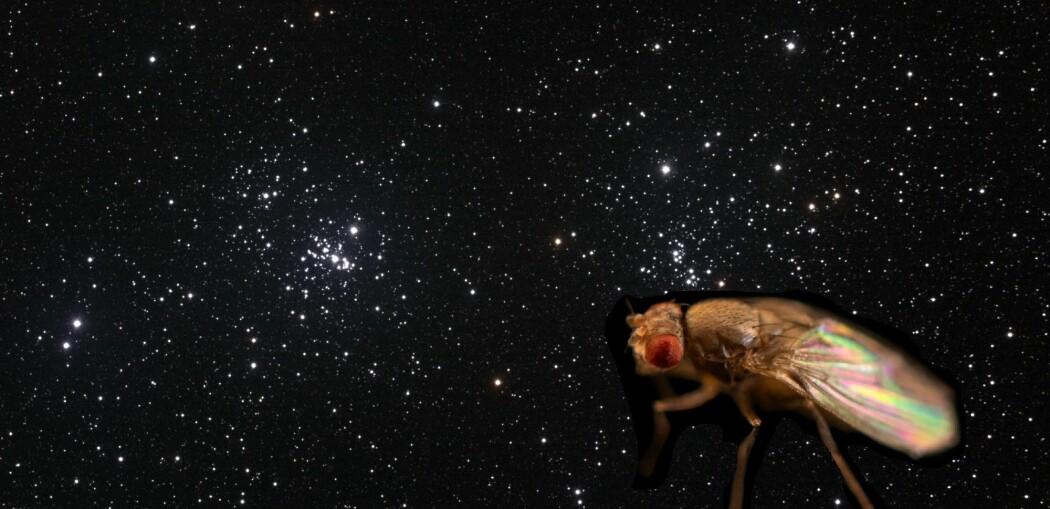Bananfluer i verdensrommet kan vise hva vektløshet gjør med hjertene våre