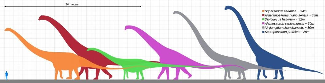 Sammenligning av et menneske og de største sauropodene. Sauroposeidon (helt til høyre) var antagelig den høyeste, mens argentinosaurus (i rødt) kan ha vært tyngst.