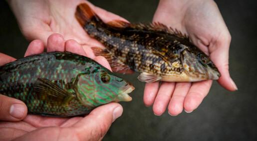 Å flytte denne fisken fra sør til vest er kanskje ikkje så farleg likevel
