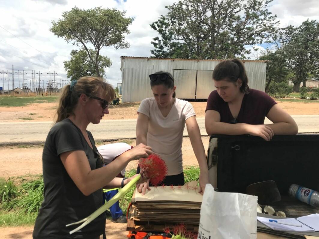 Botaniker Charlotte Sletten Bjorå (t.v.) viser en Scadoxus multiflorus til Karianne Uttgaard og Malin Sævareid. Alle har de bidratt til viktig, ny kunnskap om afrikanske liljer.