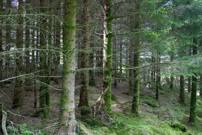 Overgang til bestandskogbruk med flatehogst og planting av gran fører til en kraftig økning i tømmervolumet. Her fra Nordgulen. (Foto: John Yngvar Larsson / Skog og landskap)