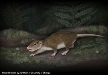 Slik ser en illustratør for seg at Rugosodon så ut i levende live. Den åt alt, og hadde fleksible nok føtter til å etter hvert bevege seg opp i trærne. Der ligger hemmeligheten til artsgruppas suksess. (Foto: (Illustrasjon: April Isch))