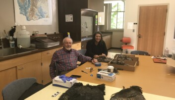 Arkeologene Bill Lipe og Shannon Tushingham samlet fjær fra ville kalkuner for å teste hvordan fjærteppene ble laget.