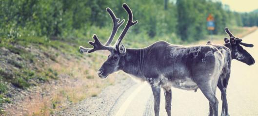 Egne varianter av skrantesjuke er funnet hos elg og villrein i Norge