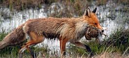 Slakteavfall fra jakt skaper trøbbel for skogsfuglene