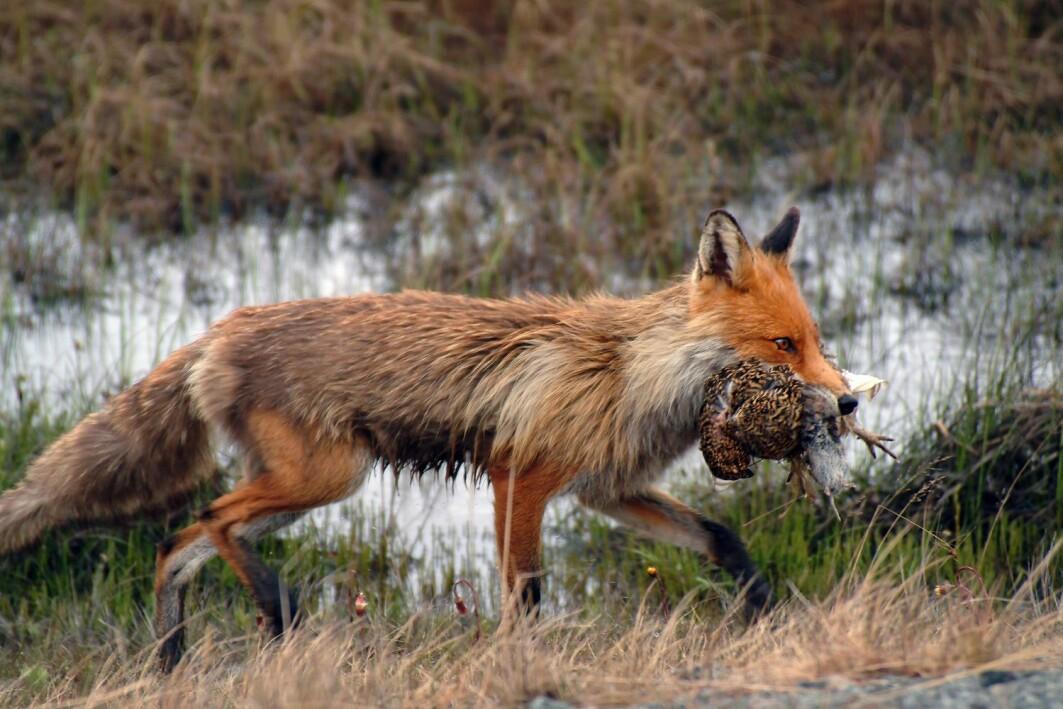 Håndtering av slakteavfall og andre kilder til mat kan trolig bidra til å begrense blant annet rødrevens utbredelse og tetthet, og føre til at den forsyner seg mindre av annet småvilt, som skogsfugl og ryper.