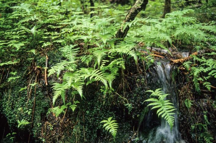 Hengeving (Phegopteris connectilis) er en typisk art for vegetasjonstypen småbregneskog. Fra Jølster kommune. (Foto: John Yngvar Larsson / Skog og landskap)
