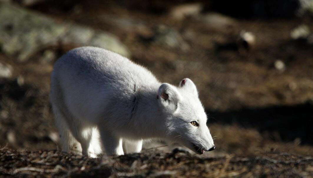 Tap av landområder, menneskelig aktivitet og klimaendringer er noe av det som truer mange av artene på jorda. Bildet viser Norges mest truede pattedyr, fjellreven.