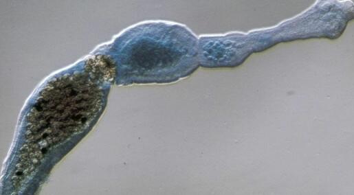 Denne parasitten truer norsk natur