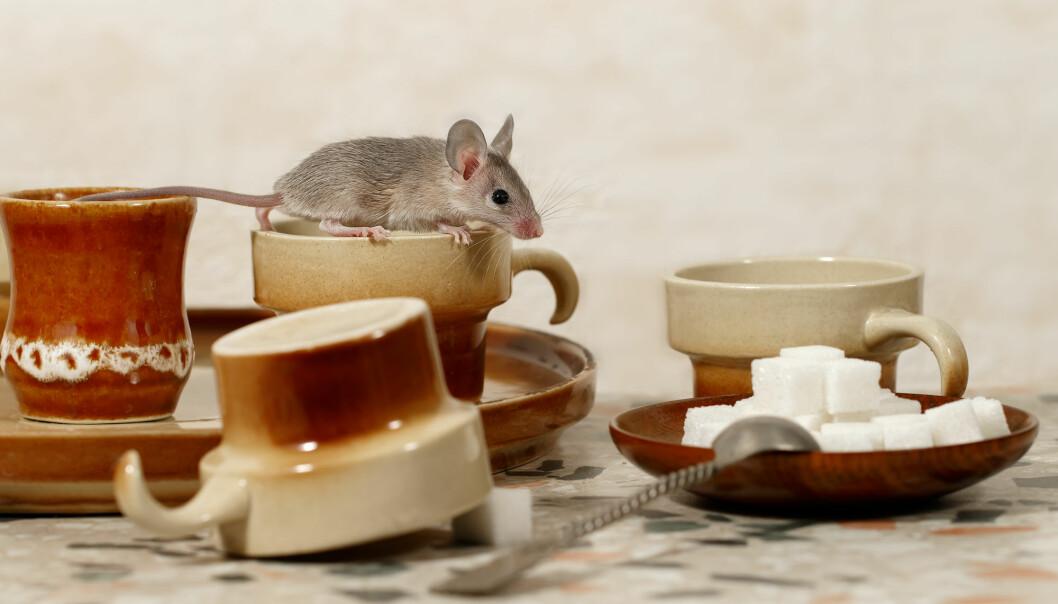 Forsker Sergio Rocha matet to grupper av mus med henholdsvis en lav-fett-diett og en høy-fett-diett. Deretter fikk musene som gikk på høy-fett-dietten kaffe inkludert i kostholdet.