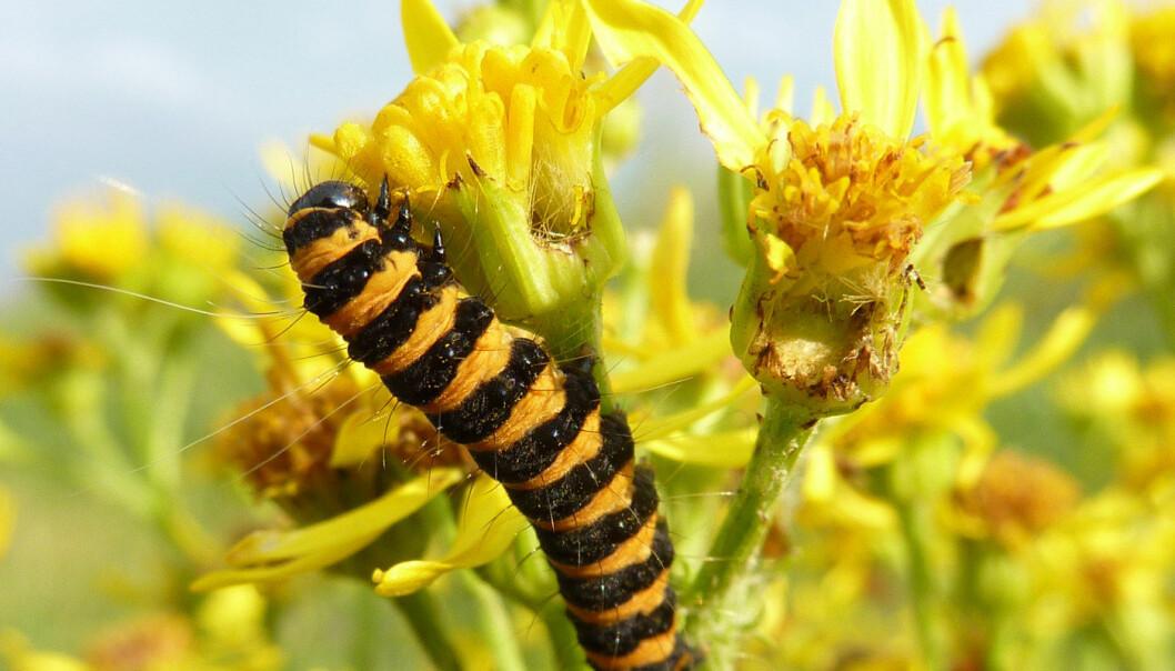 Karminspinnerlarve gnafser i seg den giftige planten landøyde, uten å fortreke en mine. Ober