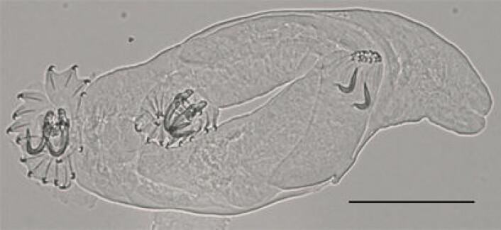 Ukjent gyrodactylus frå aure. (Foto: Christoph Hahn, NHM/UiO)