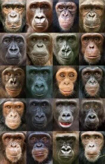 Portretter av sjimpanser og gorillaer viser stor variasjon i utseende blant våre nærmeste nålevende slektninger. (Foto: Ian Bickerstaff)