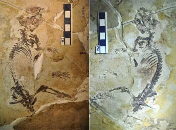 Fossilet fra Kina er det mest komplette multituberkulata-fossilet hittil. (Foto: Zhe-Xi Luo)