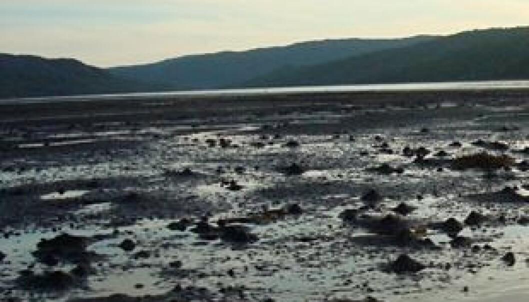 Gravende bunndyr i sedimentet i slambanken i Bøkfjorden ved Kirkenes. NIVA