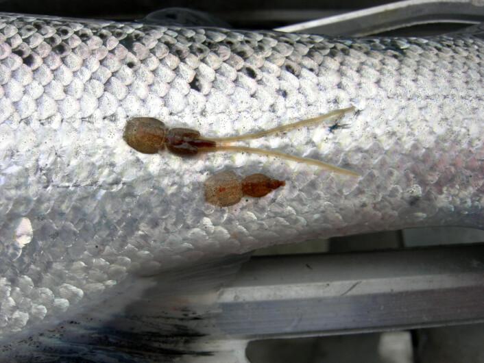 Lakselus er en del av naturlig fauna. (Foto: Trygve Poppe)