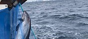 Flere tusen niser dør hvert år i norske fiskegarn