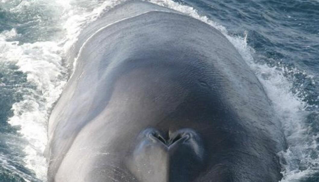Følger finnhval med jordskjelvsensor