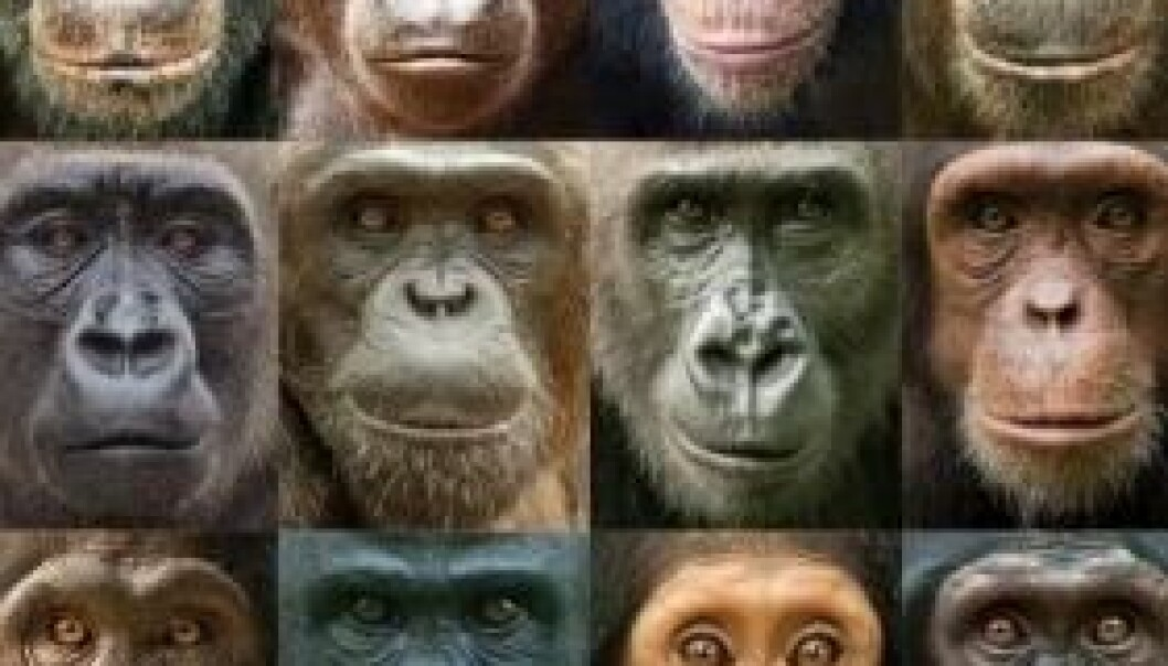 Portretter av sjimpanser og gorillaer viser stor variasjon i utseende blant våre nærmeste nålevende slektninger. Ian Bickerstaff