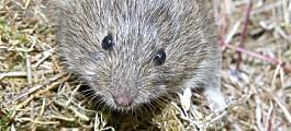 Utlover dusør til den som fanger flest mus på Svalbard