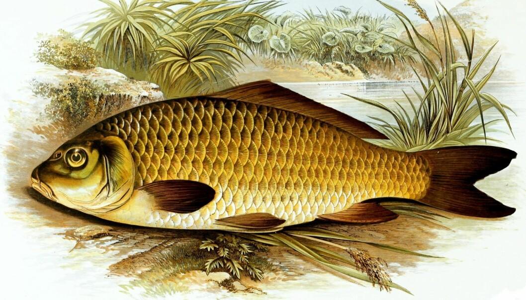 Karpen, den velkjente fisken med barter, har en egen tyggemekanisme som hjelper den spise både plantefôr og dyr. Mekanismen ble beskrevet av en nysgjerrig sjel tidlig på 1900-tallet. (Bilde: Wikimedia Commons)