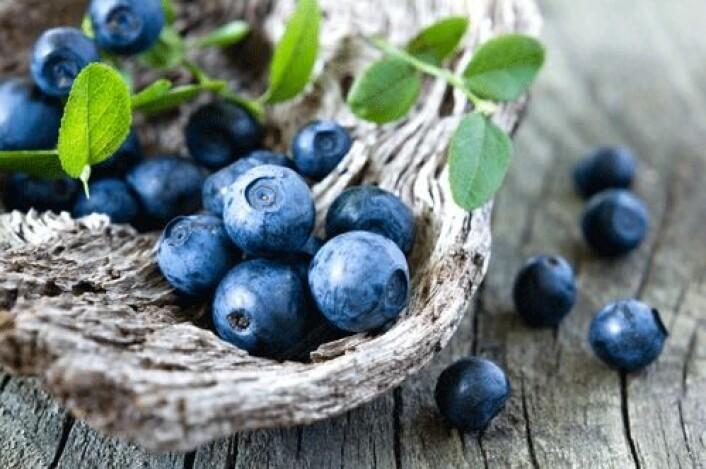 Norske og finske forskere har undersøkt helseeffekten av et typisk nordisk kosthold. Resultatene viser at blant annet villblåbær har en svært gunstig effekt på flere prosesser i kroppen. (Foto: Shutterstock)