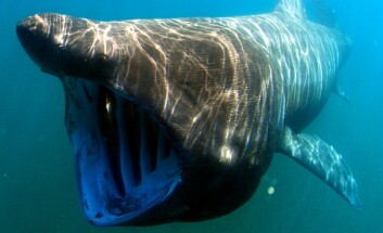 Stort barn med mange navn: Brugda heter basking shark på engelsk, men kalles også cow-fish, elephant shark, foolish shark, hoe mother, old woman shark og sun fish, ifølge EU‐nomen-databasen. (Foto: Greg Skomal/SWFSC-NOAA)