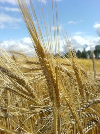 Til tross for at bygg er det mest dyrkede kornet i Norge, spiser vi svært lite av det, kun 0,7 kg per person i året. (Foto: Ann Katrin Holtekjølen)