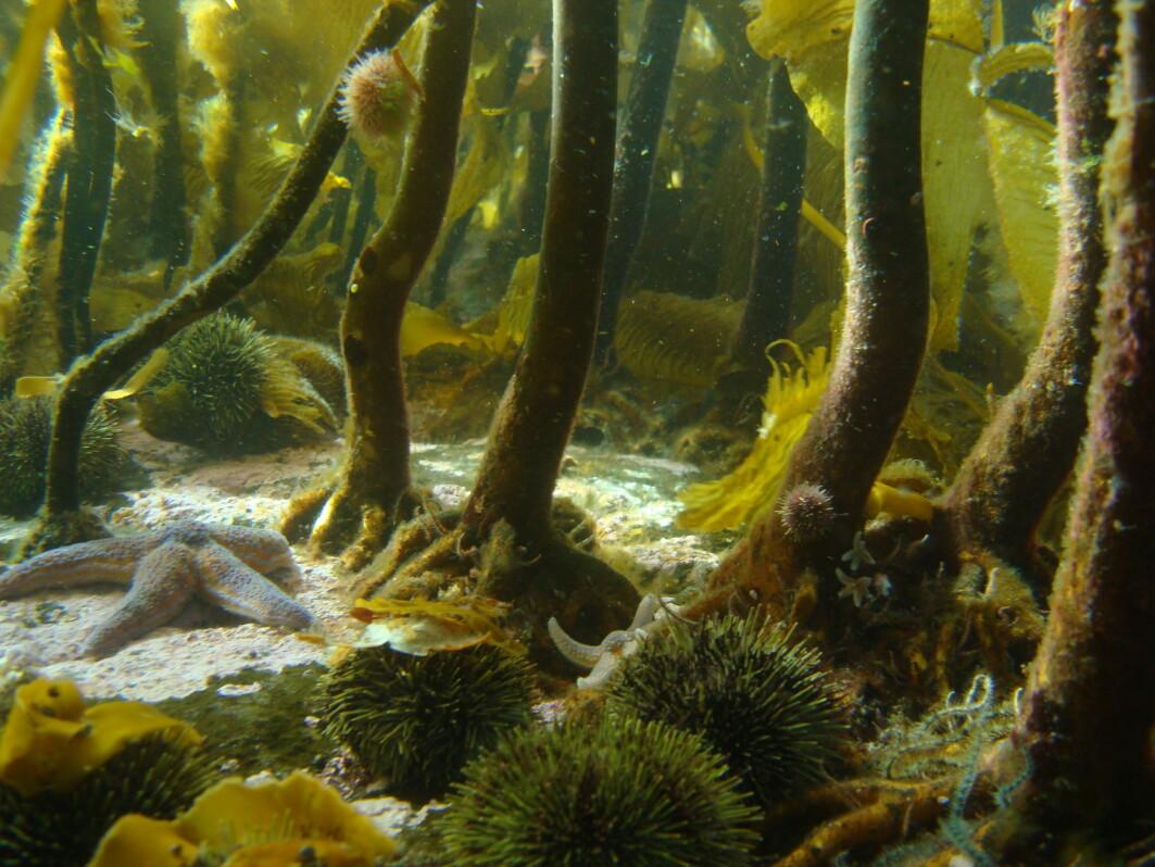 Den frodige tareskogen er helt avgjørende for artsmangfoldet langs norskekysten og utgjør viktige økosystemer.