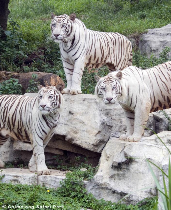 Hvite tigre i Chimelong Safari Park i kinesiske Guangzhou. (Foto: Chimelong Safari Park)