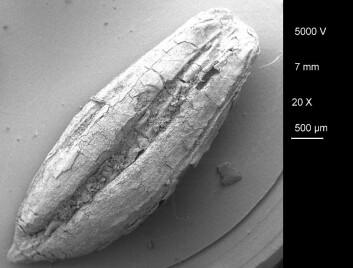 Denne ville typen bygg, med det latinske navnet Hordeum spontaneum, er blant kornsortene som ble malt opp og antagelig brukt til mat i Iran for rundt 11 300 år siden. (Foto: TISARP)