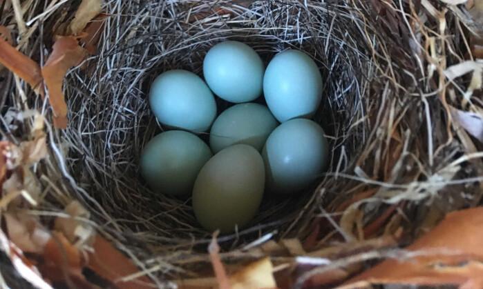 Egg av svarthvit fluesnapper.