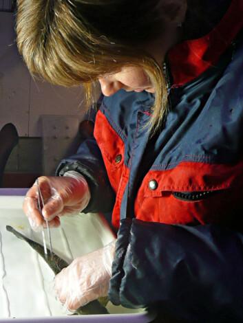 Stipendiat Kari Olli Helgesen plukker lus av oppdrettslaksen. (Foto: Tor Einar Horsberg)
