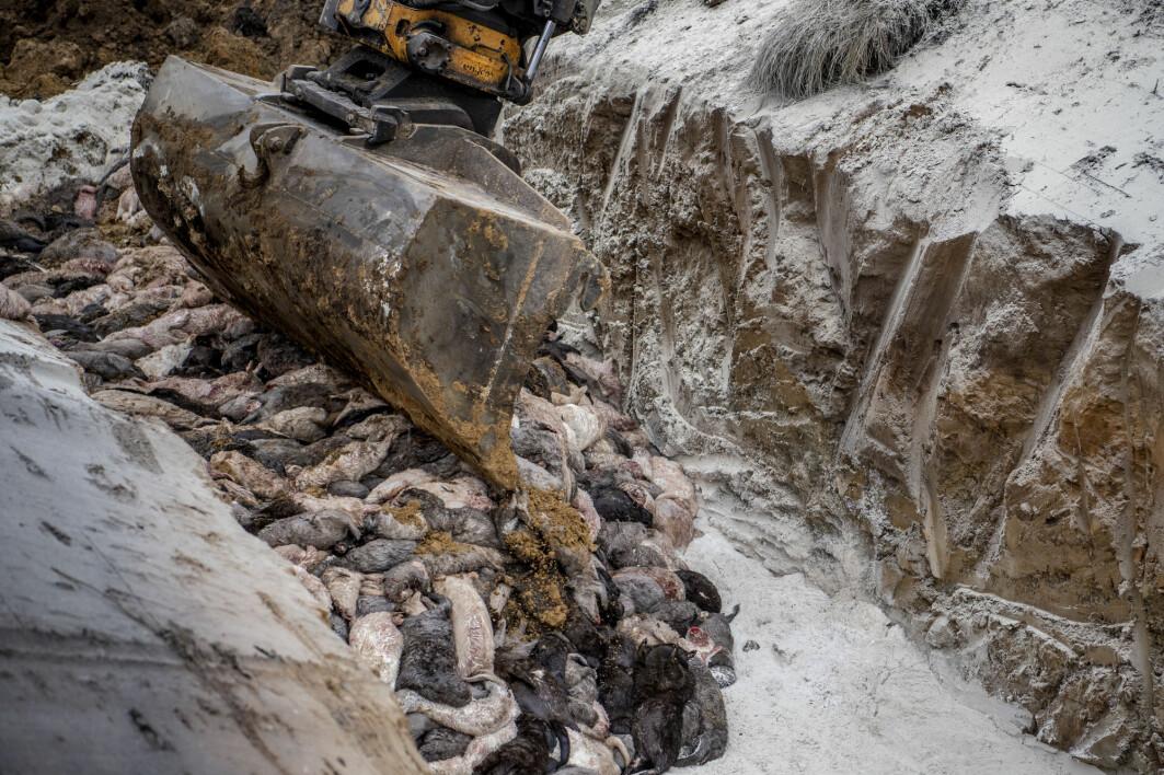 Millioner av mink ble drept og dumpet i massegraver i Danmark.