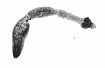 Dvergbendelorm isolert fra en ungarsk rev. (Foto: Wikimedia Commons)