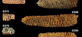 Nye analyser av eldgammel mais forteller en lang og komplisert mathistorie