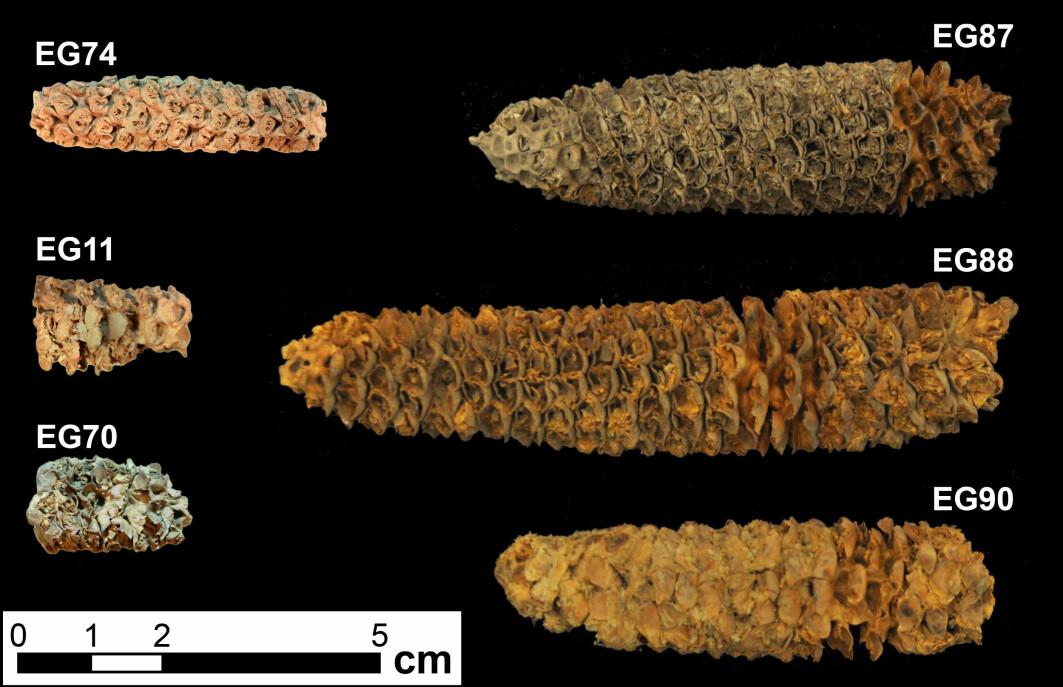 Dette er over 2000 år gamle maiskolber, funnet i Honduras. Legg merke til at de er mye mindre enn moderne maiskolber, som gjerne måler over 16 cm.