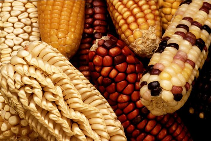 Forskjellige varianter av mais med forskjellige utrykk.